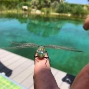 Libelle beim Trocknen